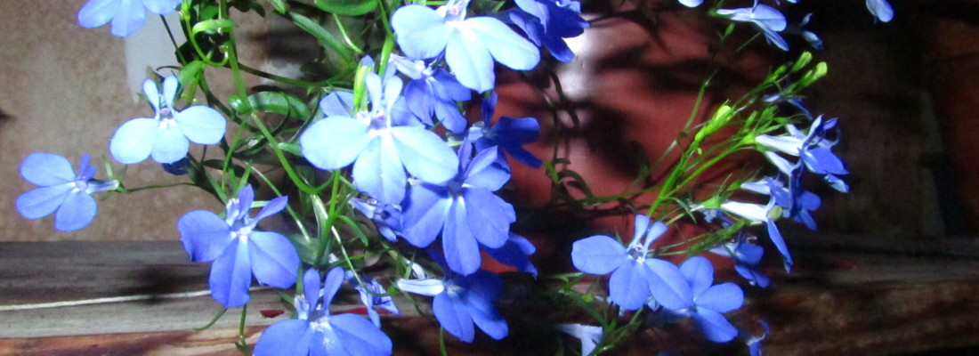 image of lobelia with tiny blue flowers blooming